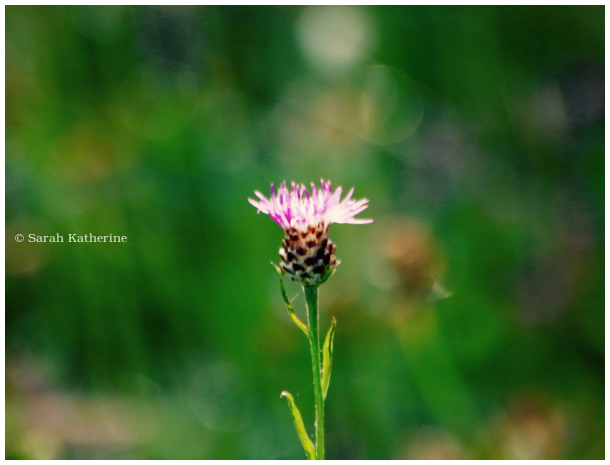 wildflower, knapweed, thistle family, summer