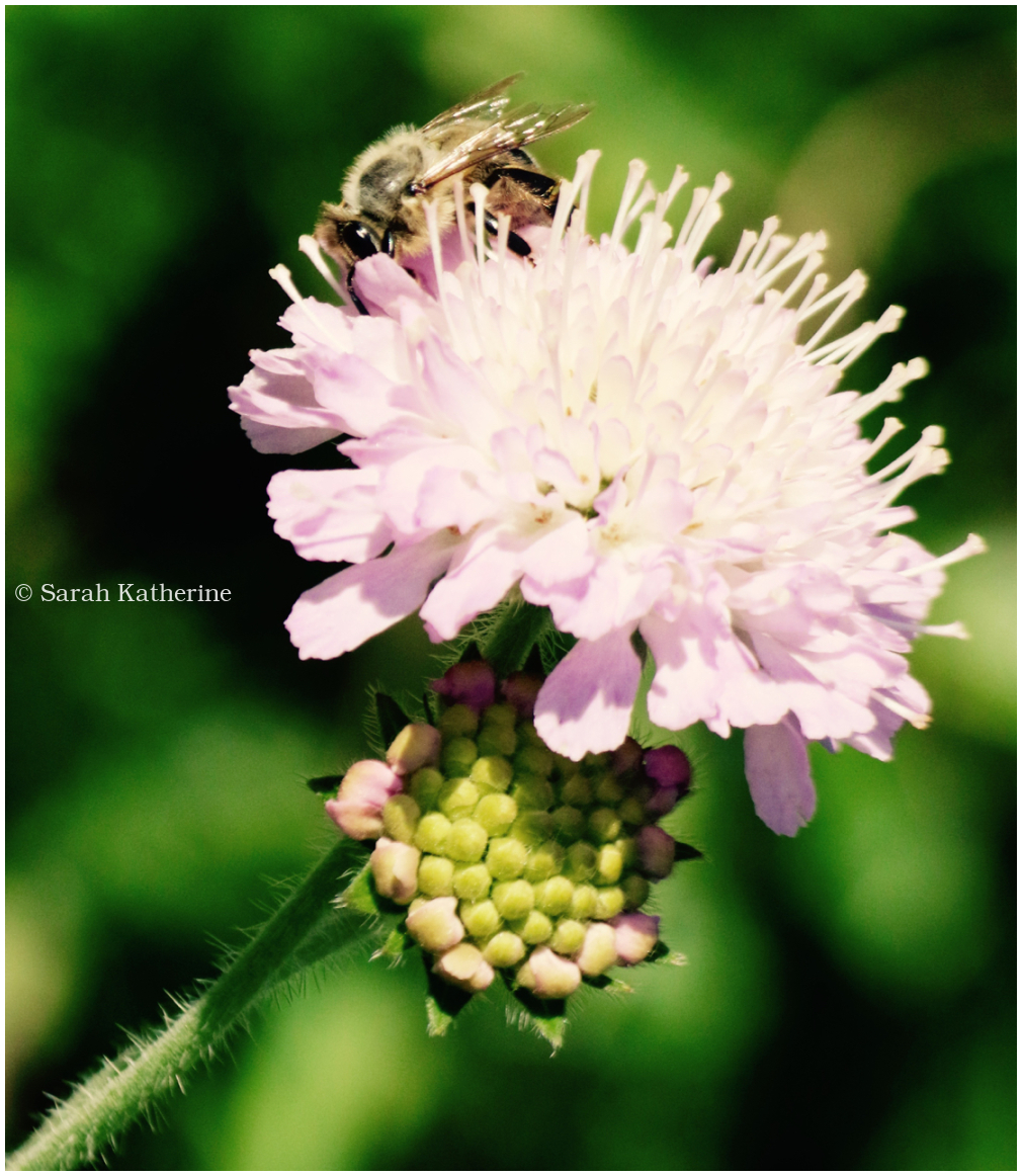 bee, summer, wildflower