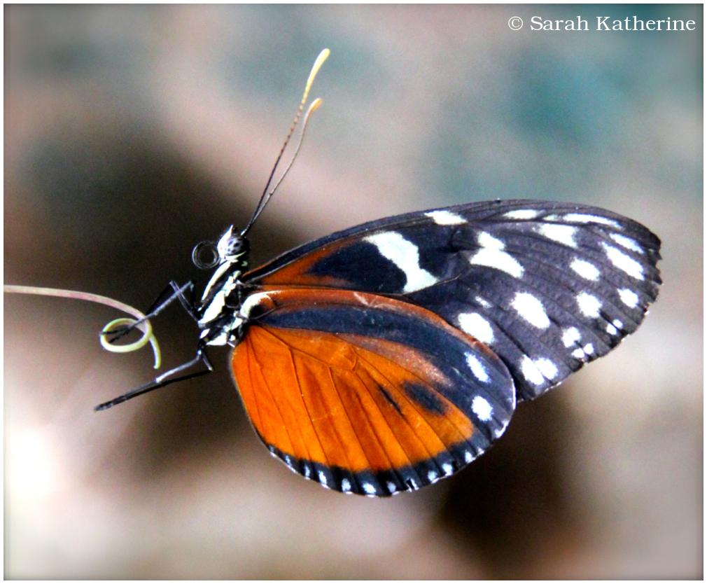 butterfly, son