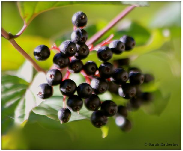 elderberry, plant, sureau