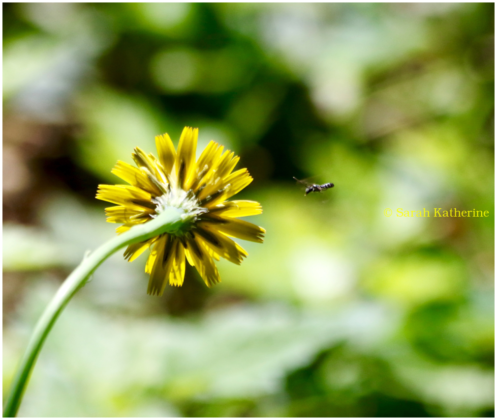 dandelion, bee, summer