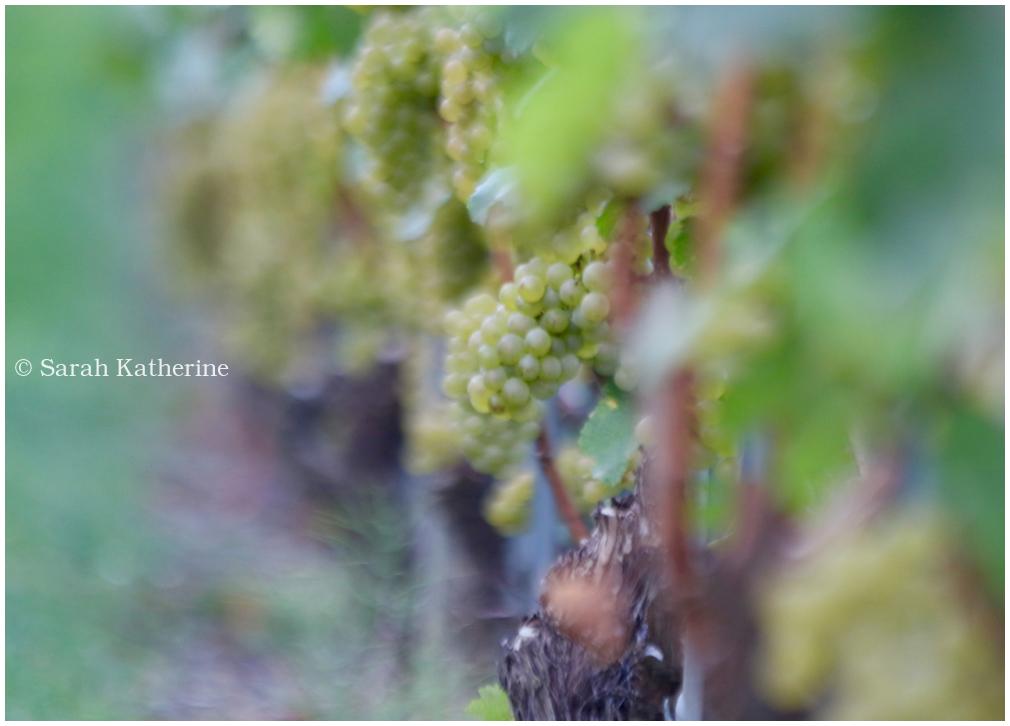 vines, grapes, vendange, harvest, vineyard, autumn