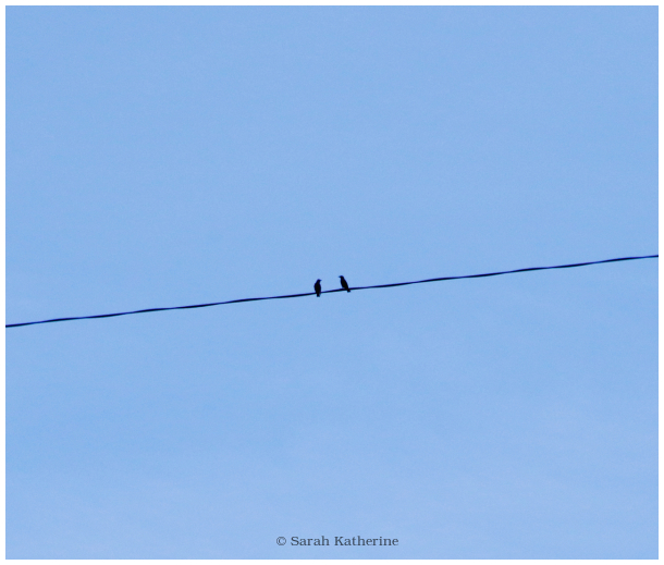 starlings, starling, birds, wire, autumn