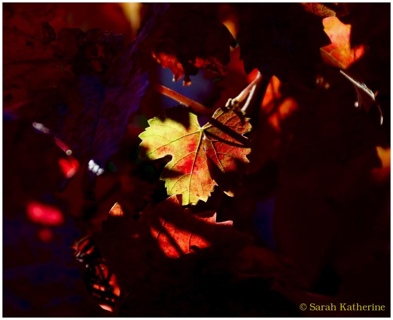 autumn, leaf, vines, sunlight