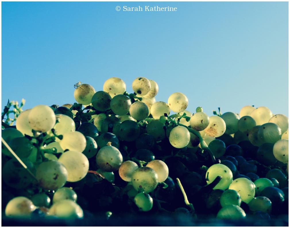 harvest, grapes, autumn, vines
