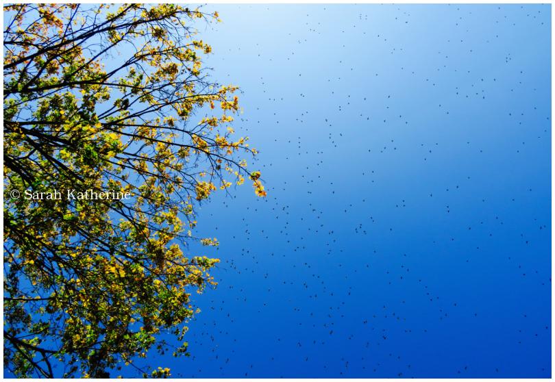 starlings, sky, tree autumn