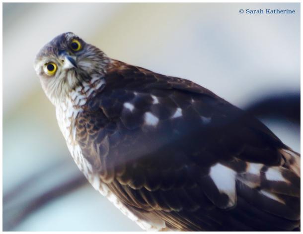 sparrowhawk, hawk