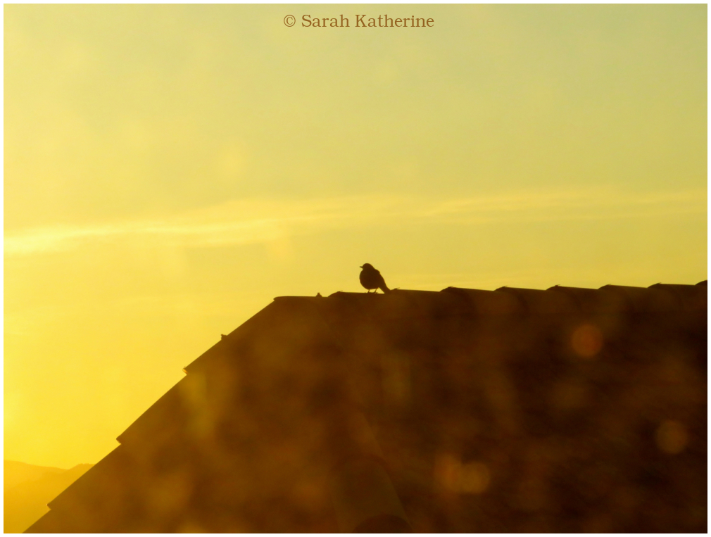 blackbird, roof, sunlight, winter, warm