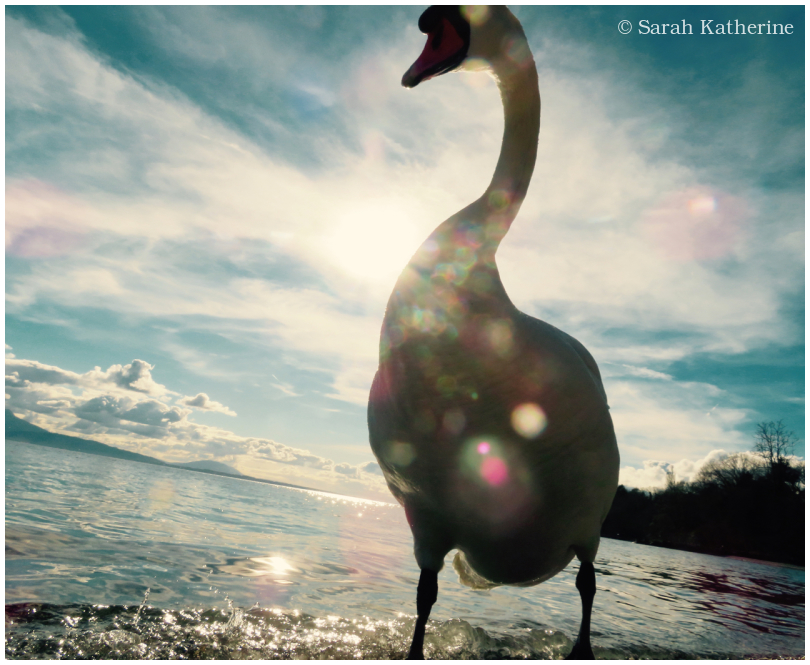 swan, light, sun, lake