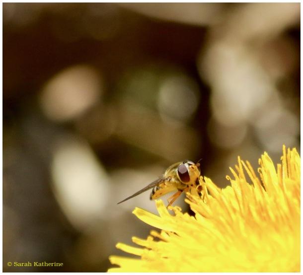 bee dandelion spring