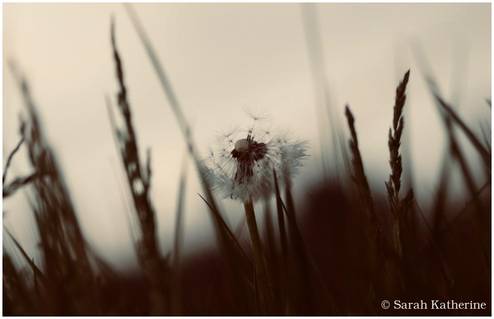 dandelion, grasses, spring