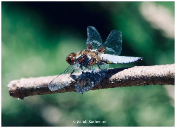 dragonfly, spring, garden
