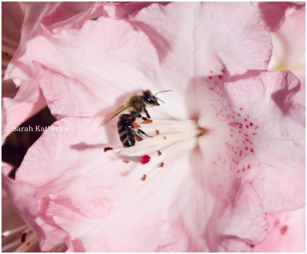 bee, pink, flower, spring
