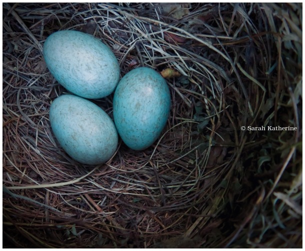 eggs, nest, spring, blackbird