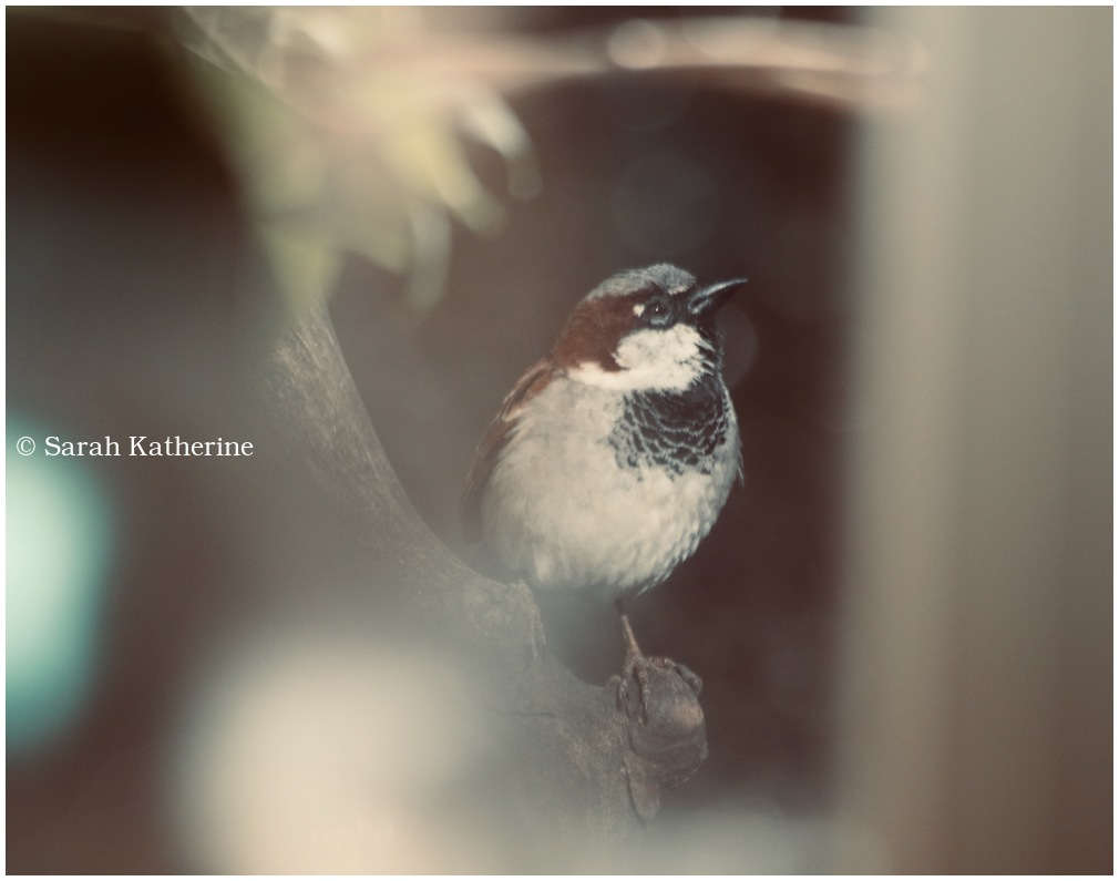 sparrow, spring