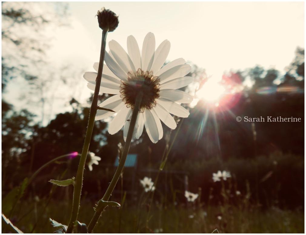 sun, solstice, summer, daisy, sunlight