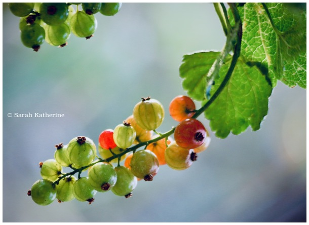 groseilles, gooseberries, summer, fruit