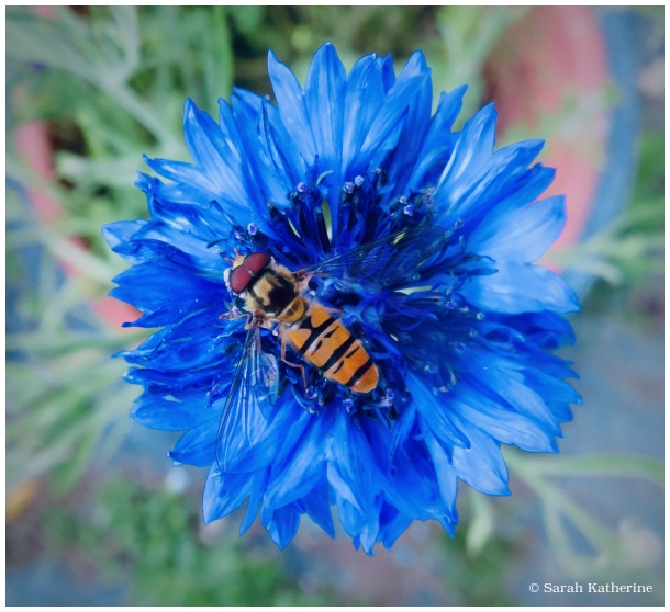 cornflower, bee, hovering fly, wildflower, summer