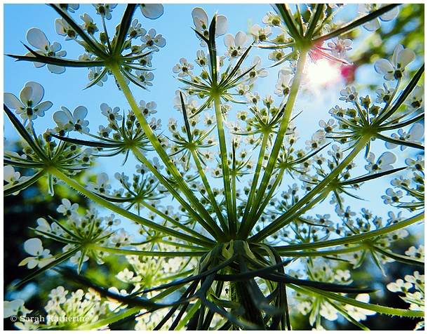 wildflower, sunlight, sky, queen anne's lace