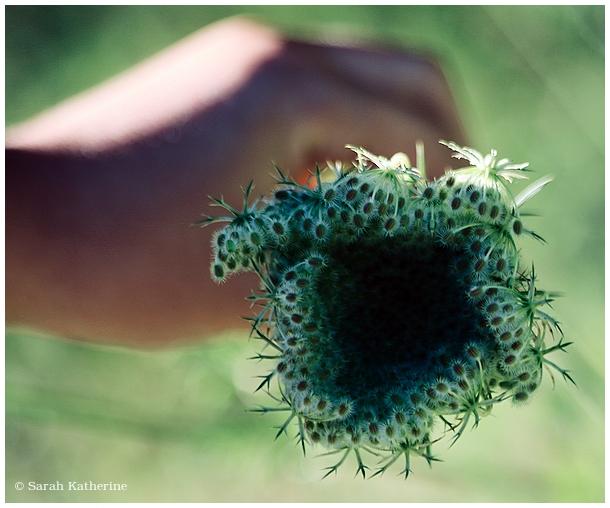 Queen Anne's lace, hand, wife, garden, summer
