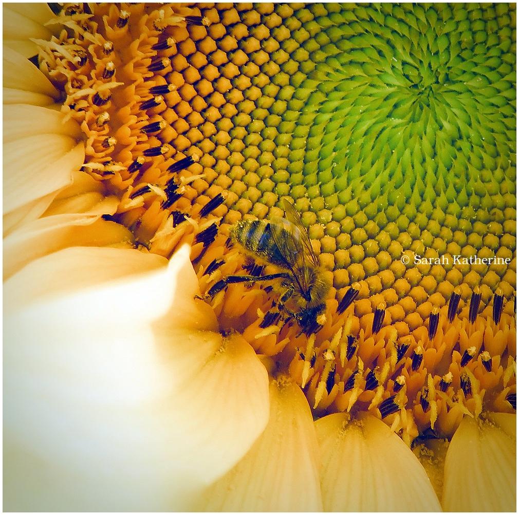bee, pollen, sunflower, summer