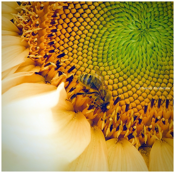 bee, pollen, sunflower, summer