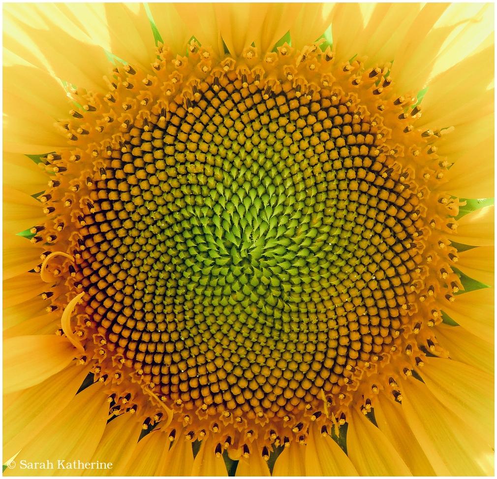 summer, sun sunflower, flower
