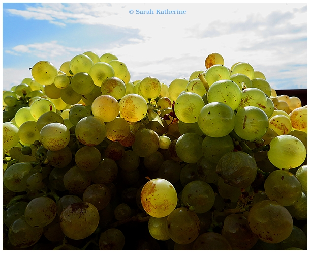 harvest, grapes, vendanges, autumn, equinox