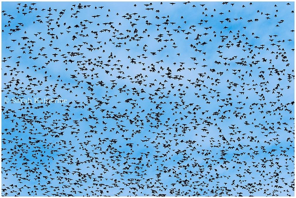 starlings, sky, autumn