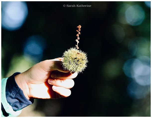 chestnut, forest, autumn, hand
