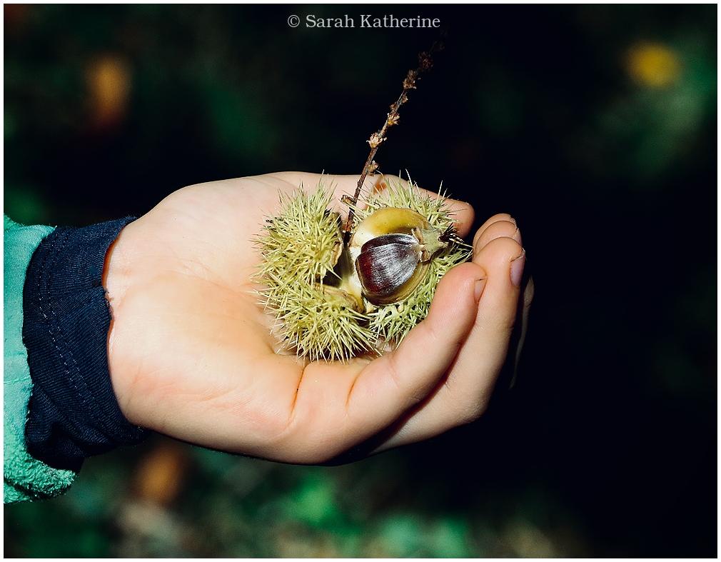 autumn, forest, hand, chestnut