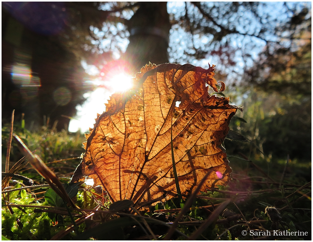 autumn, leaf, sunlight