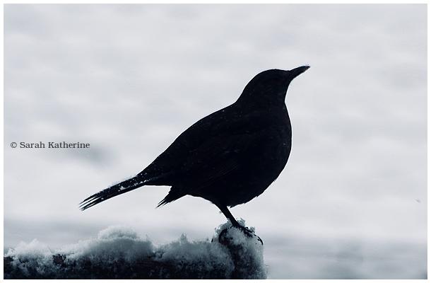 blackbird, merle, snow, neige, winter, hiver