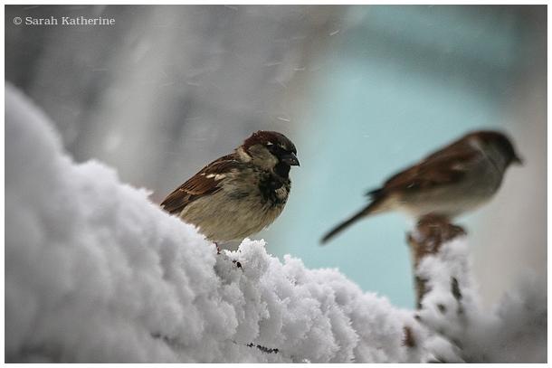 snow, sparrow, neige, winter, hiver