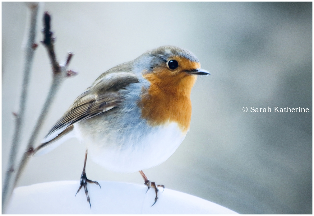 robin, winter, window