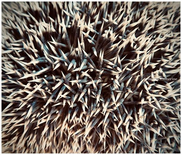 hedgehog, rescue, quills, winter