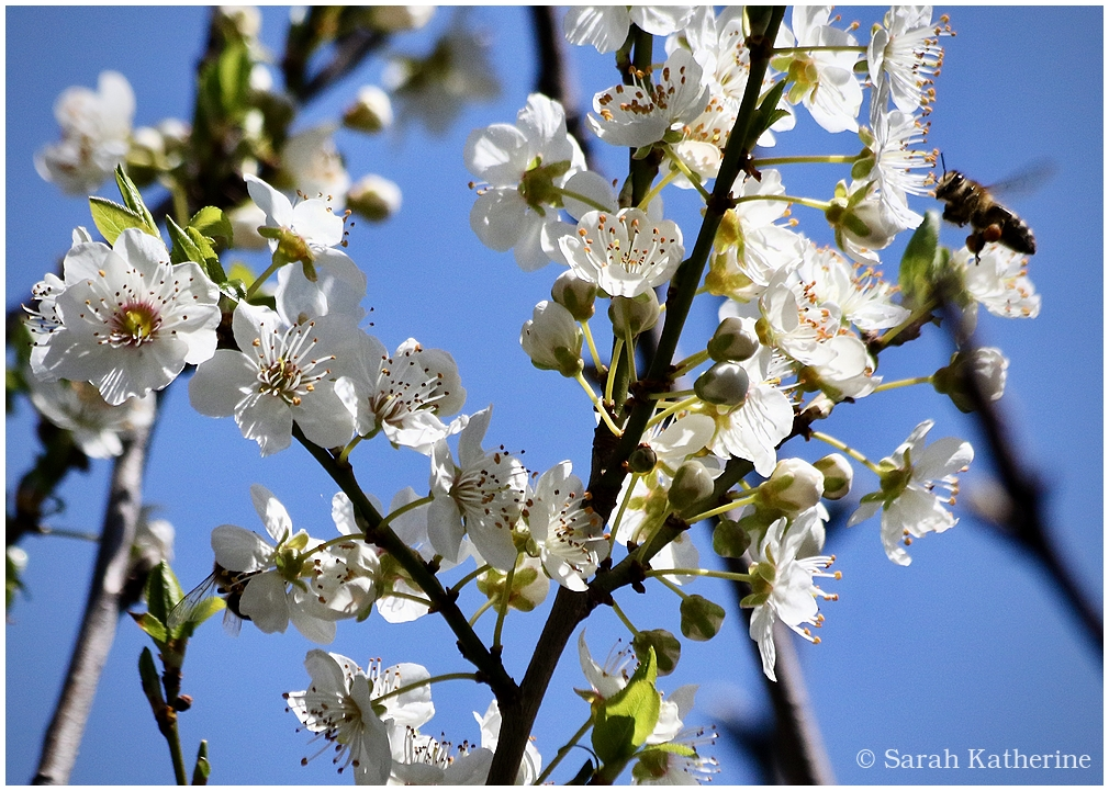 bee, plum, blossoms, spring