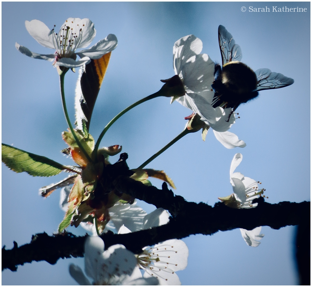 bee, cherry, blossoms, spring, tree
