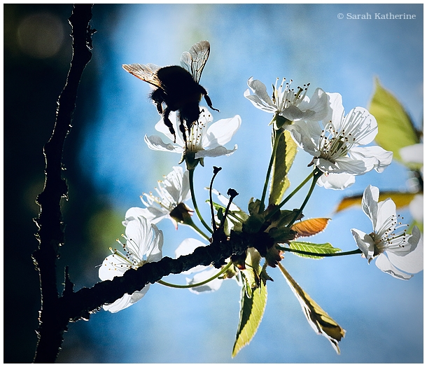 bee, spring, cherry blossom