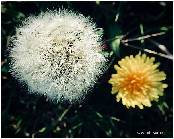 dandelion, spring, dent-de-lion