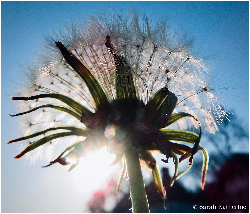 dandelion, dent-de-lion, spring