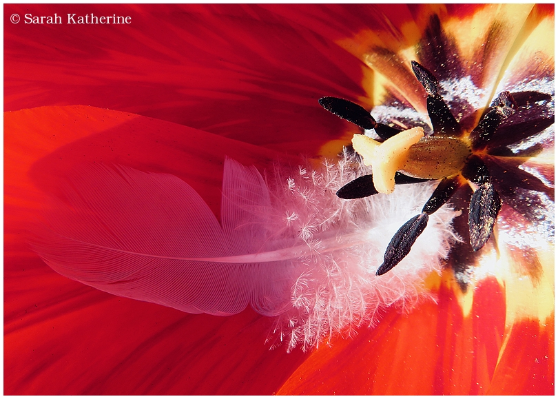 tulip, feather, flower