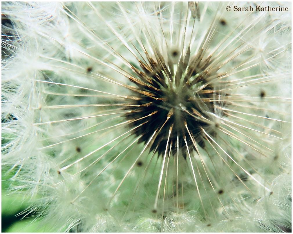 dandelion, dents-de-lion, spring, seeds