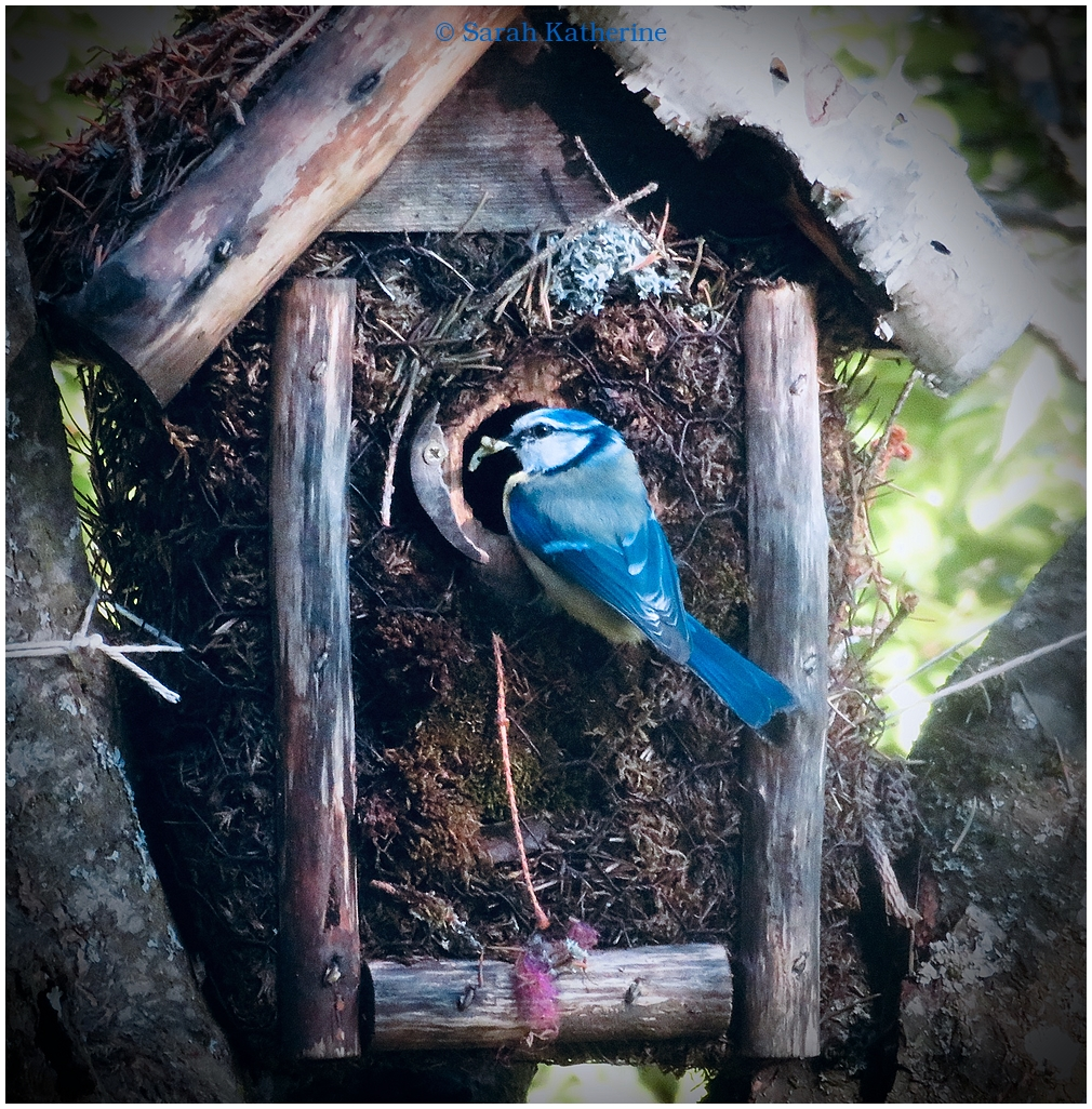bluetit, mésange, bird, spring, birdhouse, nest