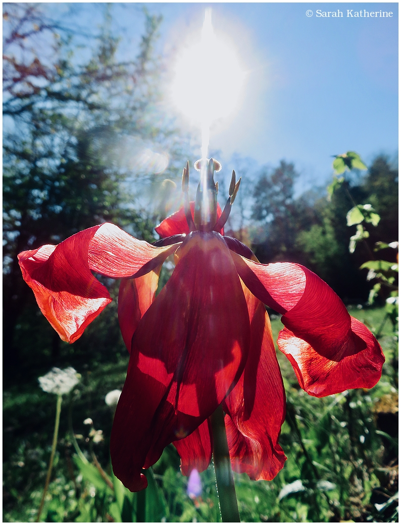 tulip, sunlight, spring