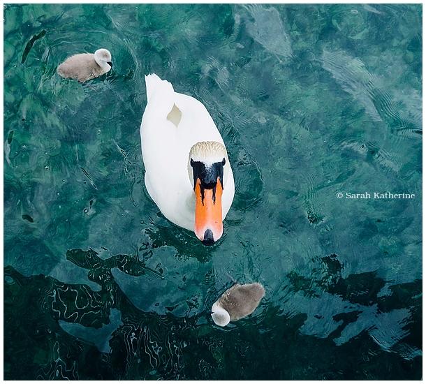 swan, cygnets, lake, spring