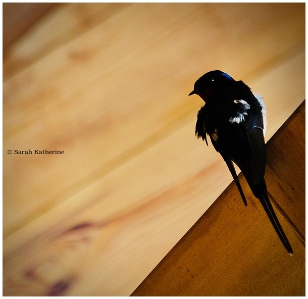 swallow, bird, spring