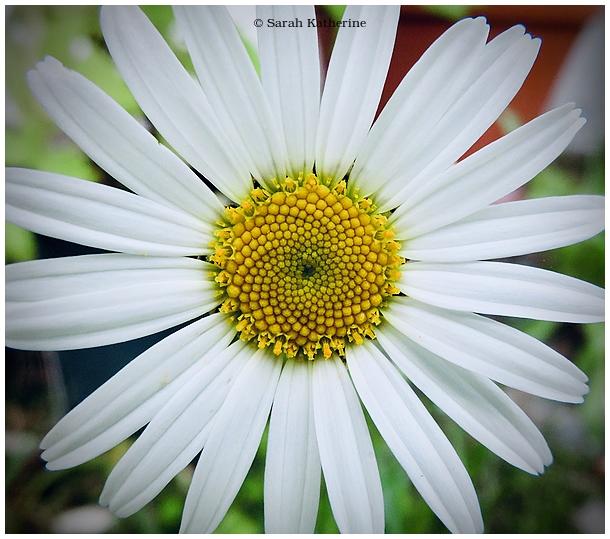 daisy, spring, garden
