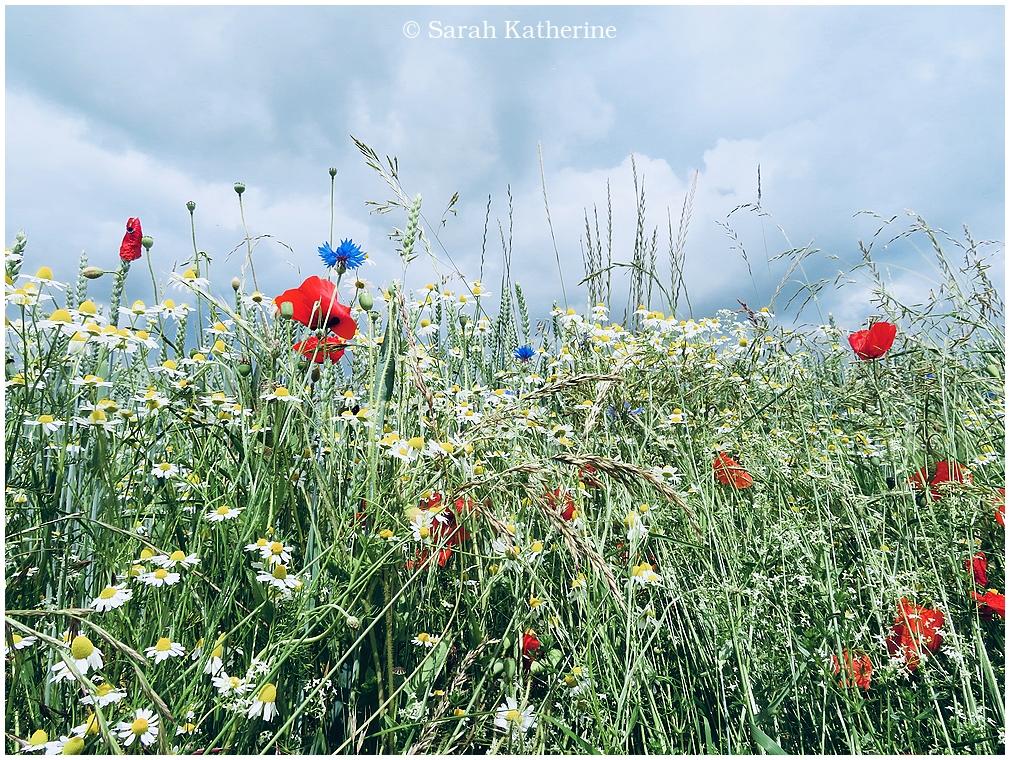 spring, wildflowers, nature, poppies