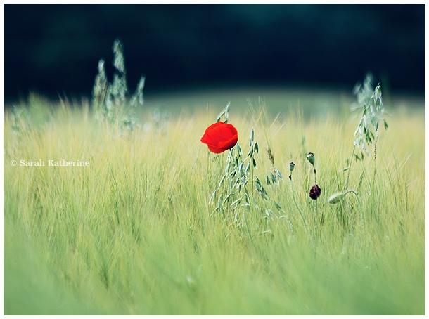 poppy, poppies, spring, widlflowers